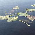 Lilly Pads Adrift by Stephanie Wagenbach