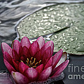 Lily And Pad by Susan Herber