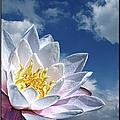 Lily Flower Against Sky by Photo by Daveduke.