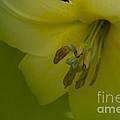 Lily Flower by Heiko Koehrer-Wagner