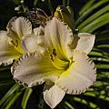 Lily Flower In Sunlight by Scott McGuire