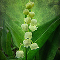 Lily Of The Valley - Convallaria Majalis by Mother Nature