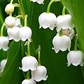 Lily Of The Valley by Paul Slebodnick