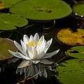 Lily On The Pond by Steven Natanson