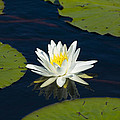 Lily Pad And Flower by Rich Franco