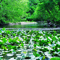 Lily Pads Along Unami Creek by Bill Cannon