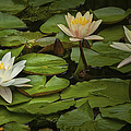 Lily Pads And Blossoms. No204 by Randall Nyhof