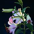 Lily Pod To Flower by Patrick Witz