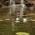 Lily Pond by Douglas Barnard