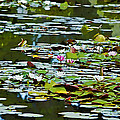 Lily Pond by Phyllis Denton