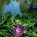 Lily Pond6 by Danny Cieloha