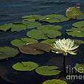 Lilypad by Amanda Jones