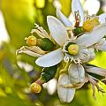 Lime Blooms And Fruit by Ruth Edward Anderson