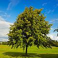Lime Tree In Summer by Gabriela Insuratelu