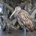Limpkin On A Log by Mike Fitzgerald
