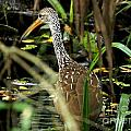 Limpkin by Theresa Willingham