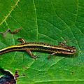 Lined Salamander 2 by Douglas Barnett