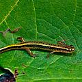 Lined Salamander 3 by Douglas Barnett