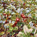 Lingonberry by Algimantas Gavenauskas