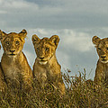 Lion Cubs Serengeti National Park by Boyd Norton