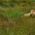 Lion In The Grass by Joe Bonita