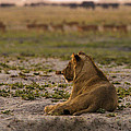 Lion Lazy by Alistair Lyne