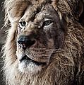Lion by Matt Steffen