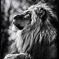 Lion Meditating by Perla Copernik