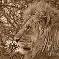 Lion Of Chobe by Mareko Marciniak