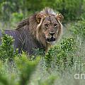 Lion On Patrol by Mareko Marciniak