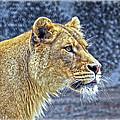 Lion Stare by Steve McKinzie
