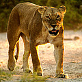 Lioness by Alistair Lyne