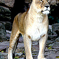 Lioness At Attention by Kathy  White