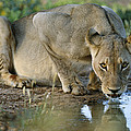 Lioness Drinking by Tony Camacho