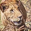 Lioness Hiding by Perla Copernik