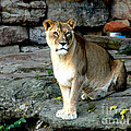 Lioness by Kathy  White