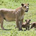 Lioness With Cubs by Carson Ganci