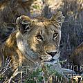 Lioness With Pride In Shade by Darcy Michaelchuk