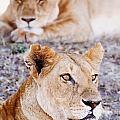 Lionesses Lying In Shade In Maasai Mara by Axiom Photographic