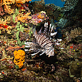 Lionfish, Fiji by Todd Winner