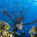 Lionfish Foraging Amongst Corals by Steve Jones