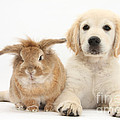 Lionhead-cross Rabbit And Golden by Mark Taylor