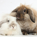 Lionhead-lop Rabbits by Mark Taylor