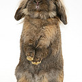 Lionhead Rabbit by Mark Taylor