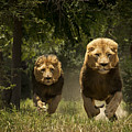 Lions by Carole Deschuymere
