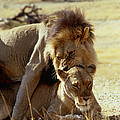 Lions Mating by Peter Chadwick