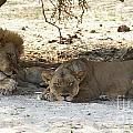 Lions Sleep by Mareko Marciniak