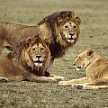 Lions Tanzania by John Wolf
