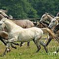 Lipizzan Horses by Angel Ciesniarska