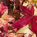 Liquidambar Autumn by Heidi Smith